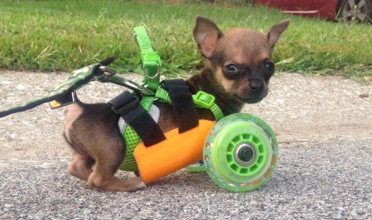 3D-printed cart for Chihuahua born with no front legs.