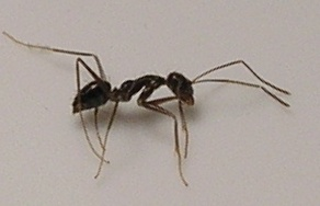 Ant Study Finds Phthalates Are Pervasive